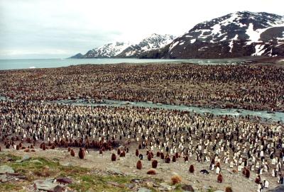 A Few King Penguins