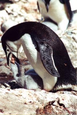 Chinstrap Penguin Regurgitation