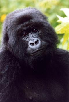 Rwanda for Mountain Gorillas | The Misanthropic Principle