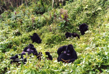 Gorillas In Their Salad Bowl