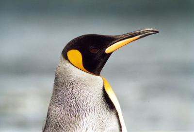 King Penguin Head Shot