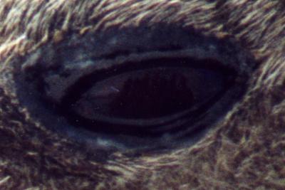 Leopard Seal Eye