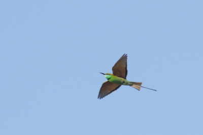 Bee Eater Flying