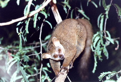 Bushbaby Full Body