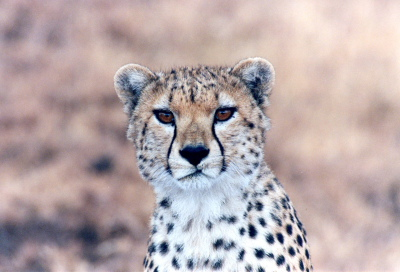 Cheetah Head Shot