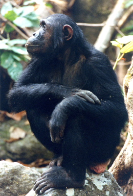 Female Chimp