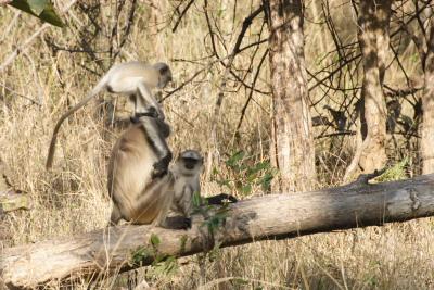 Grey Langur Leapfrog