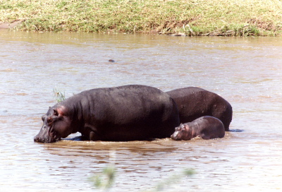 Hippos with Baby