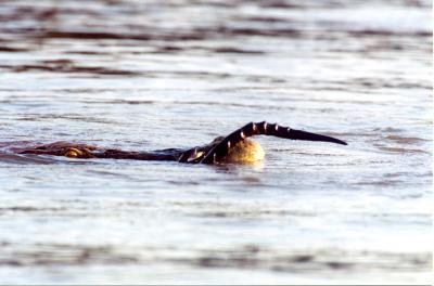 Crocodile Horn