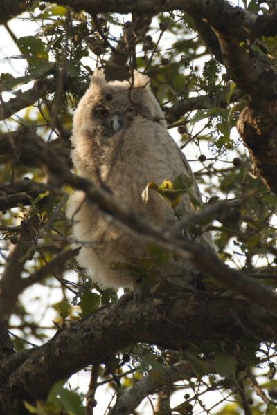 Dusky Eagle Owl Chick
