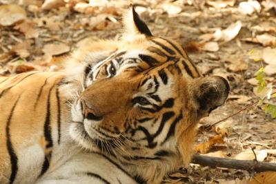 Tiger Head Shot