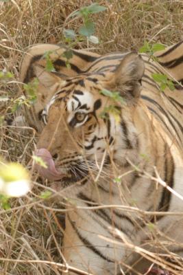 Tiger Tongue