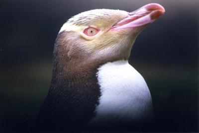 Yellow Eyed Penguin Head