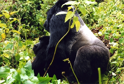 Rwanda for Mountain Gorillas » Gorillas Mating